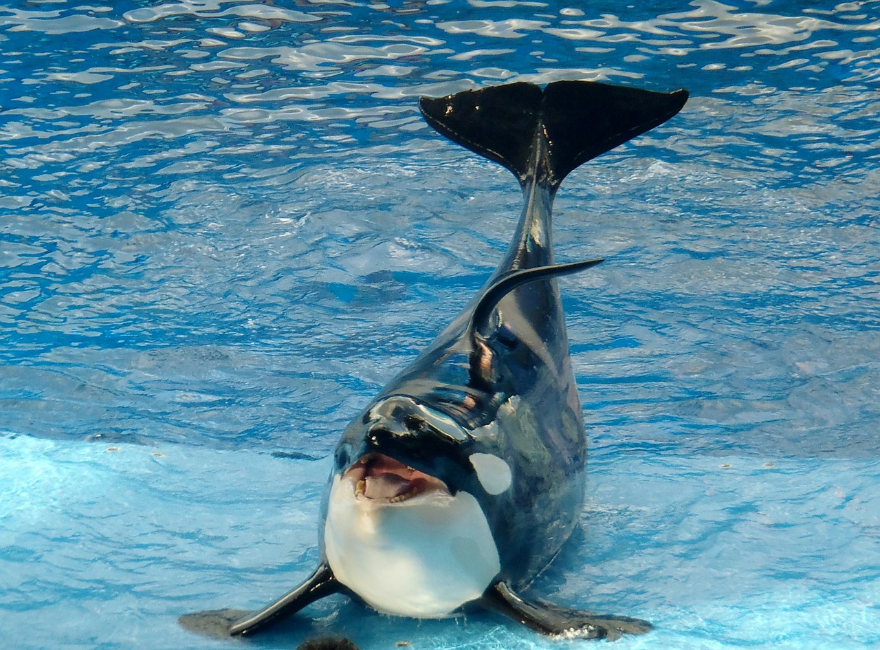 A whale at SeaWorld.