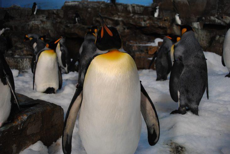Penguins at SeaWorld San Antonio.