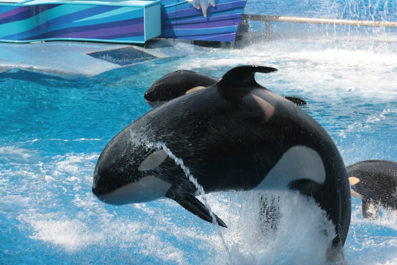Orca Whales at SeaWorld Orlando.